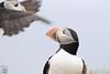Oh hey!! (Megan Lorenz) Tags: atlanticpuffin puffin bird avian seabird nature wildlife wild wildanimals travel newfoundland canada mlorenz meganlorenz
