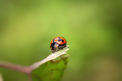 Ladybug (Just_hobby) Tags: sonya6000 sel50f18 extensiontube ladybird insect animalplanet outdoor dof macro
