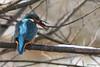 Martin-Pêcheur poisson 170111-06-P (paul.vetter) Tags: oiseau ornithologie ornithology faune animal bird martinpêcheur alcedoatthis eisvogel kingfisher