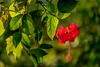 The China Rose in morning rays! (Curious ClickZ of Rezwanul Alam) Tags: flower red green nature outdoor morninglight petal canoneos70d lightroom chinarose beautifulbangladesh beautiful petals