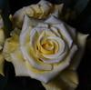 DSC_4216 Rose (PeaTJay) Tags: nikond750 reading lowerearley berkshire macro micro closeups gardens indoors nature flora fauna plants flowers bouquetofroses rose roses rosebuds