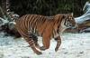 sumatran tiger Burgerszoo JN6A1088 (j.a.kok) Tags: tijger tiger sumatraansetijger sumatrantiger pantheratigrissumatrae tess nonja burgerszoo burgerzoo kat cat mammal zoogdier predator azie asia sumatra