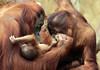 orangutan Lea Changi and baby Krefeld JN6A0992 (j.a.kok) Tags: orangutan orangoetan orang mensaap primaat primate lea changi krefeld aap ape monkey azie asia borneo