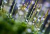 DSC_9461 (xav_roberts) Tags: macro closeup dew nikonv1 nikonft1 nikon sigma105mmf28mm water droplets morningdew rain raindrops