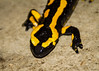 Salamandre (Kaya.paca) Tags: salamandre salamandra salamender couleurs bokeh portrait gros planrapproché nature animal amphibien amphibian extérieur pluie rain canon1100d hautesalpes france bokehwhores bokehlicious flickrunitedaward ngc