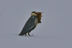Reiher (heiko.moser (+ 11.300.000 views )) Tags: reiher fisch tier tiere animal animale natur nature natura vogel bird birds outdoor canon winter schnee schweiz beute heikomoser