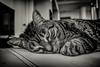 Texture (Challenge 1) - Explored (jrobblee) Tags: cat pet bw black white monochromatic canon viveza nik lightroom animal monochrome dof challenge zeiss