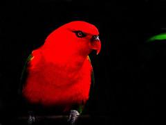 DSCN0020 Crimson Parrot (tsuping.liu) Tags: outdoor organicpatttern blackbackground birds redblack red nature natureselegantshots naturesfinest moment