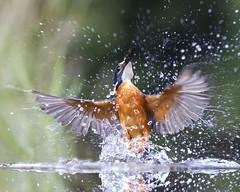 Kingfisher (peterspencer49) Tags: peterspencer peterspencer49 kingfisher bird uk scotland fishing