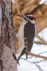 Hairy Woodpecker (Picoides villosus) (byjcb) Tags: birds woodpecker verdi nevada unitedstates