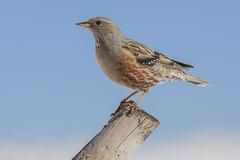 Hi  2017 !!! (jrosvic) Tags: bird birds aves prunellacollaris acentoralpino alpineaccentor sierraespuña nikond2xs nikonafs300mmf4 ornitología ornithology murcia spain
