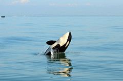 Grooving Orca (Don Mosher Photography) Tags: wild whale orca