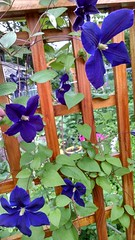 Jackmanii clematis with 4,  5, and 6 tepals on one plant (livewombat) Tags: clematis petal jackmanii sepal tepal