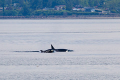 Transient orcas T124D and less than a year-old calf T124D1 (5/21/15) (wanderinggrrl) Tags: year2 week52
