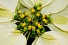 CW222 Longwood Gardens Flowers (listentoreason) Tags: usa white plant flower color nature closeup america canon unitedstates pennsylvania favorites places longwoodgardens magnoliophyta angiosperm ef28135mmf3556isusm score30 plantpart