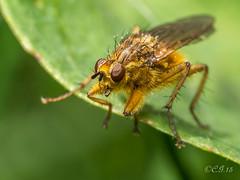 Scathophaga stercoraria - Golden Dung Fly (claudiaulrikegoodall) Tags: