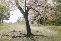 / Cherry Blossoms at Nara Park (kimtetsu) Tags: japan cherry blossom blossoms  cherryblossom  nara  narapark