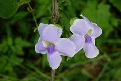 _DSC7292 (ddsnet) Tags: plant flower sony taiwan cybershot   taoyuan     rx10
