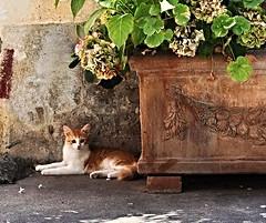 Vaso di ortensie e gattino