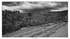 Jatiluwih Rice Fields (Dannies Hendrato) Tags: travel trees bali green clouds photography blackwhite rice coconut terrace fields padi awan kelapa irrigation hijau sawah pohon jatiluwih hitamputih subak terasering metamorephoto