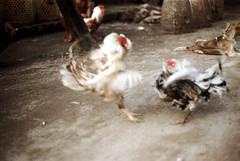 27-245 (ndpa / s. lundeen, archivist) Tags: bali dog color bird film birds 35mm indonesia nick cock arena dirt southpacific baskets rooster cocks 1970s 27 1972 roosters indonesian cockfight gamecock gamecocks cages dewolf oceania pacificislands cockfighting nickdewolf photographbynickdewolf cockfightingarena reel27 cockfightarena