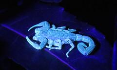 Tityus silvestris, scorpion (Birdernaturalist) Tags: brazil fluorescence invertebrates roraima buthidae