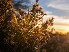Bush with flowery fuzzies.jpg (melissaenderle) Tags: desert arizona