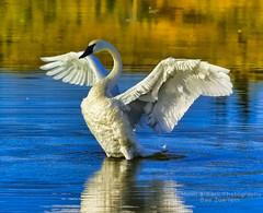 WHY WE HAVE BEAUTY ... (Aspenbreeze) Tags: swan trumpeterswan wildbird wings water reflection birds swans animal wildlife aspenbreeze moonandbackphotography bevzuerlein