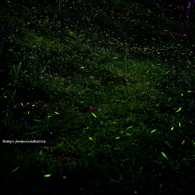 若蘭山莊螢火蟲