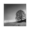 Tree in fog (cardijo) Tags: austria österreich salzburg schwarzweis sw bw blackandwhite baum tree landscape landschaft fog nebel analog film ilford fp4 rodinal rolleiflex carlzeiss tessar 6x6