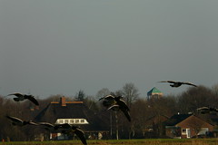 rural East Frisia in December (achatphoenix) Tags: rural eastfrisia december dezember winter village geese birds jannberghausbrücke inexplore nonnengänse weiswangengans barnacles