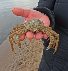 Giving The Wife Crabs (Bricheno) Tags: edinburgh portobello joppa beach sea firthofforth sand bricheno scotland escocia schottland écosse scozia escòcia szkocja scoția 蘇格蘭 स्कॉटलैंड σκωτία crab