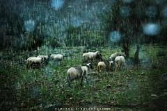 the silence of the lambs (Love me tender ♪¸.•*´¨´¨*•.♪¸.•*´) Tags: dimitrakirgiannaki photography greece greek leonidio arkadia sheep nature rain glasses animals village memories traveling blur 2016