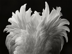 _MG_2542_bw_web (Erik Koffmar) Tags: flamingo bird birds feather bw blackandwhite blackwhite art atristic avian nature wildldife outdoor photoart