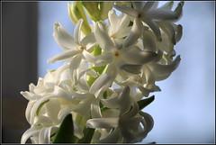 Hyazinthe am Fenster (julia_HalleFotoFan) Tags: hyazinthe hyacinthsus spargelgewächs asparagaceae zwiebelpflanze mittwochsblümchen