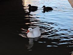 acompañame (salva.al) Tags: pajaro pato anade oca rio puente agua