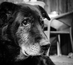Loyalty (damjangosak) Tags: dogportrait dogphotography dog pet pets animalphotography animals loyal bestfriend black blackandwhite blackdog olddog