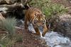 Suka (ToddLahman) Tags: suka sandiegozoosafaripark safaripark sumatrantiger tigers tiger tigertrail teddy joanne exhibitc escondido canon7dmkii canon canon100400 mammal water