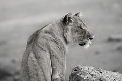 Sentinel (carlos.aantunes) Tags: lion lioness etosha national park nature bw black white portrait back shoulder animal mammal dangerous big cat rock landscape travel photography vacation