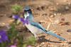 Western Scrub-Jay (Aphelocoma californica), Atascadero, California (kmalone98) Tags: aphelocomacalifornica scrubjay corvidae crowsravensmagpiesandjays westernscrubjay wildlife aves aphelocomacalifornicascrubjay