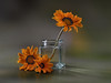 Mustias (hequebaeza) Tags: naturalezamuerta stilllife gazania rigens gazaniarigens naranja flores flowers nikon d5100 nikond5100 ebcfujinon1450mm fujinon 50mm m42 hequebaeza