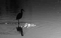 egret in stars (tsd17) Tags: mono blackandwhite worcestershirewildlifetrust sigma150600c canon7dmk11 wildlife birds uptonwarren