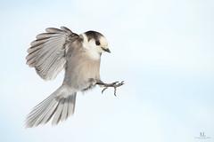 Mésangeai du Canada - Grey jay - Perisoreus canadensis (Maxime Legare-Vezina) Tags: bird oiseau nature wild wildlife animal fauna ornithology biodiversity winter hiver snow canon quebec canada