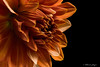 The Examination 1019 Copyrighted (Tjerger) Tags: nature beautiful beauty black blackbackground bloom blooming closeup fall flora floral flower macro orange peach petals plant portrait white wisconsin dahlia examination natural