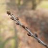 Bijna voorjaar!! (Geziena) Tags: lumix lx100 katjes knoppen voorjaar natuur bokeh