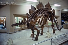 42-27856250 (agathaumas) Tags: animal bones dinosaur extinctanimal fossil museum naturalsciences nobody ornithischian paleontology physicalscience reptile science sciences skeleton stegosaur stegosaurus