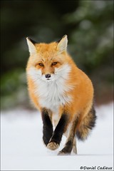 Loping Red Fox (Daniel Cadieux) Tags: fox redfox lope loping trot trotting run running winter snow cold fur algonquinpark wildlife