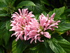Chicago, Lincoln Park Conservatory, Brazilian Plume Flowers or Flamingo Flowers (Justicia carnea) (Mary Warren (7.8+ Million Views)) Tags: chicago lincolnpark lincolnparkconservatory nature flora plants dahlias pink blooms blossoms flowers leaves foliage