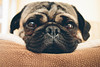 nap time (ronsimon1) Tags: pug puglover mansbestfriend pugs dogs doglife naptime vsco