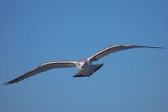 Incoming........ (klythawk) Tags: gull inflight bluesky winter nature wildlife blue grey silver black olympus em1mkll omd 100400mm panasonic colwickpark nottingham klythawk